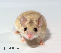 Cream spiny mouse from Siimis mousery