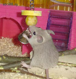 Spiny mouse at play