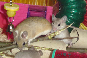 Spiny Mice